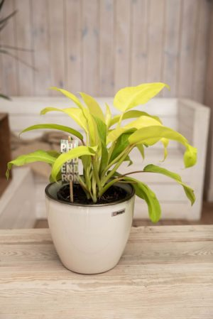 040-04716 PHILODENDRON LAY GOLD H50 P15