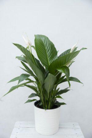 Skrzydłokwiat 'Bingo Cupido' (łac. Spathiphyllum 'Bingo Cupido') (1)