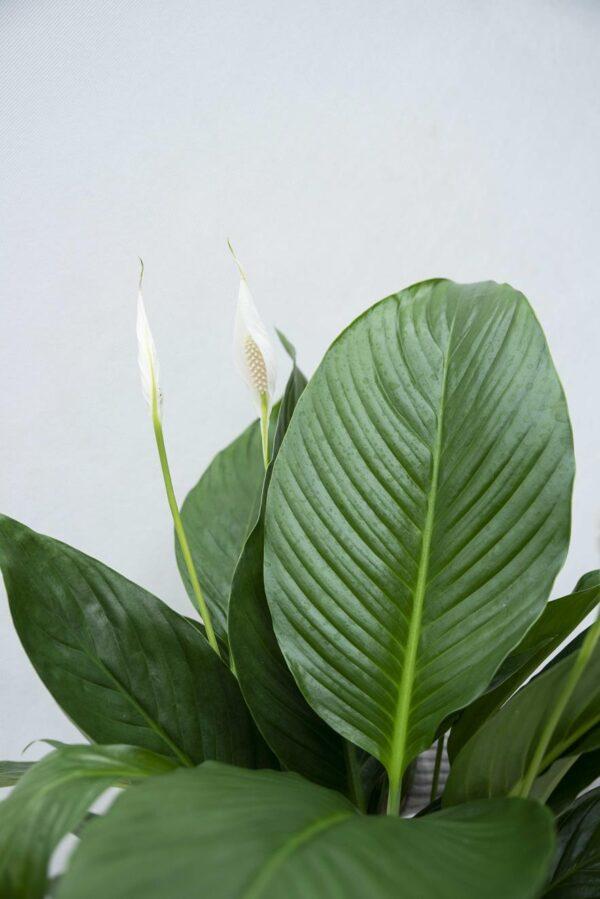 Skrzydłokwiat 'Bingo Cupido' (łac. Spathiphyllum 'Bingo Cupido')