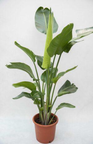 Strelicja biała (łac. Strelitzia nicolai) H160 P35