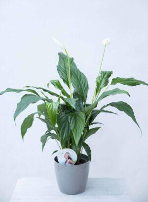 Skrzydłokwiat 'Sweet Chico' (łac. Spathiphyllum 'Sweet Chico')