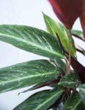 Stromante 'Triostar' (łac. Stromanthe 'Triostar') (1)