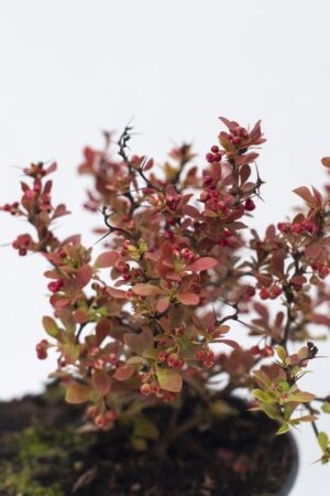 710-04695 Berberis th. 'Admiration' C1 (2)