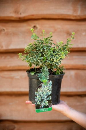 710-22534 Euonymus fortunei Emerald Gaiety