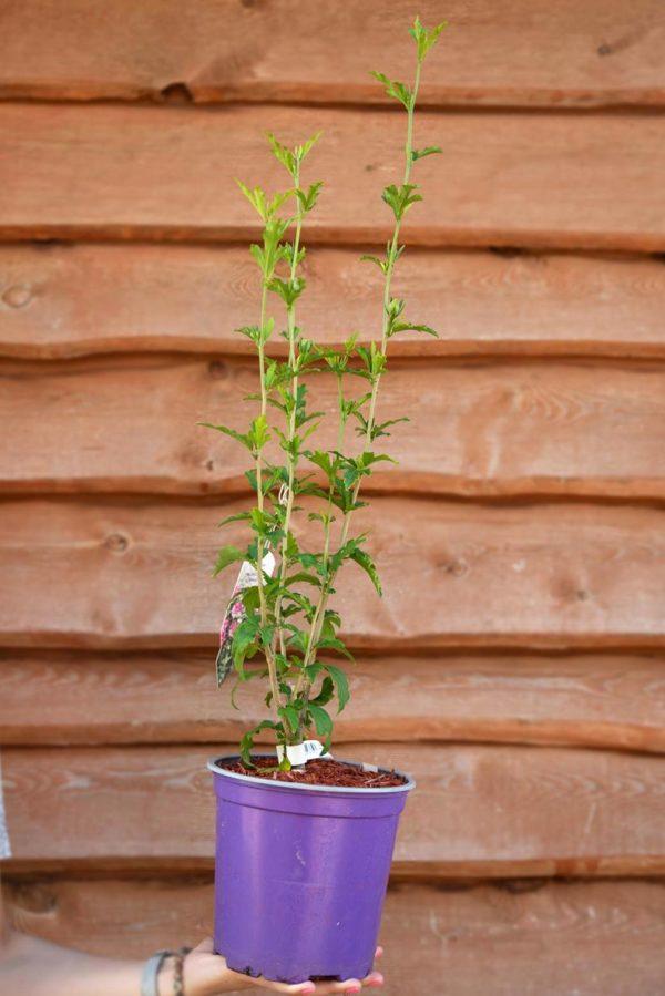 710-22537 Hibiscus syriacus Magenta Chiffon