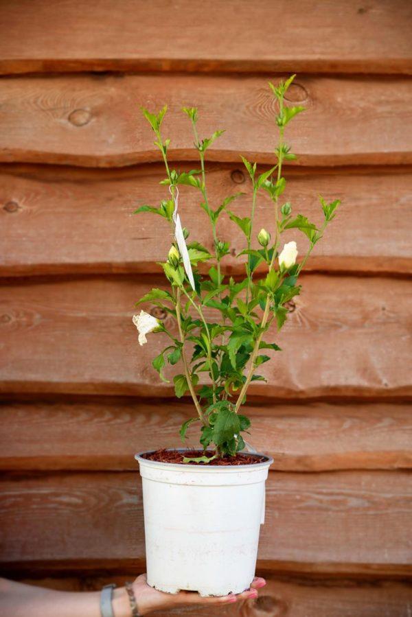 710-22540 Hibiscus syriacus White Chiffon