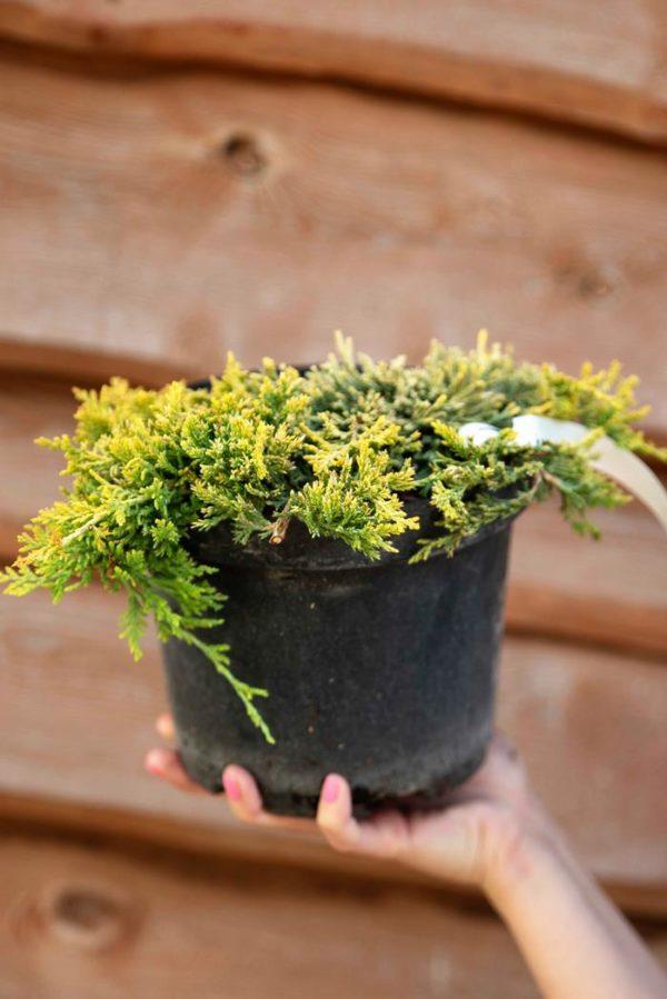 710-22544 Juniperus horizontalis Golden Carpet