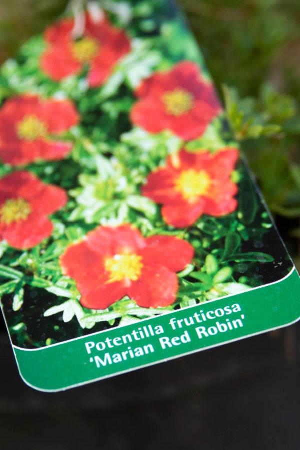 710-22546 Potentilla fruticosa Marian Red Robin (1)