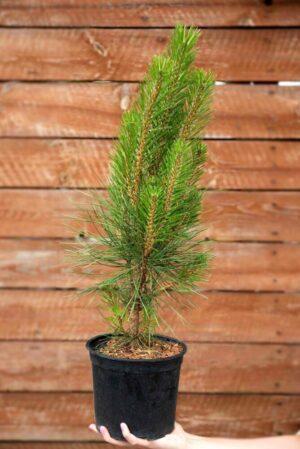 710-22548 Pinus nigra