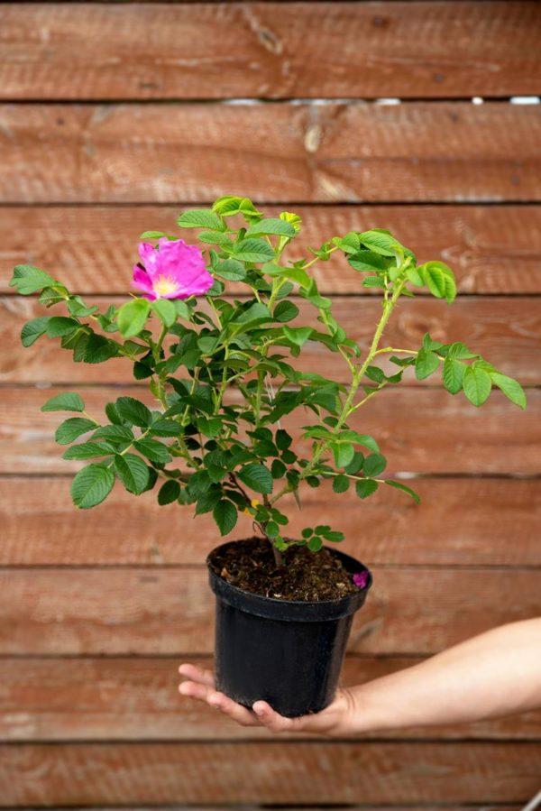 710-22553 Rosa rugosa