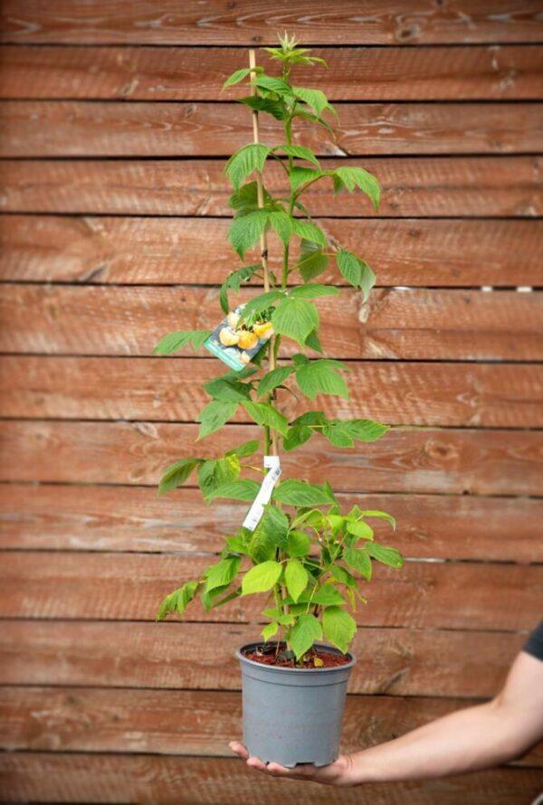 710-22555 Rubus idaeus Golden Bliss