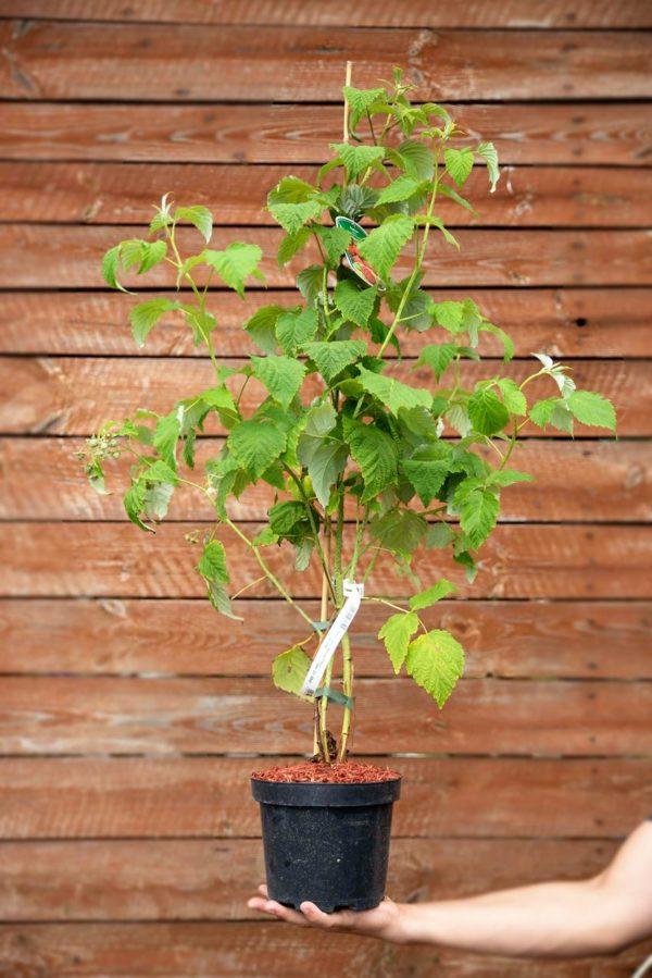 710-22556 Rubus idaeus Malling Promise