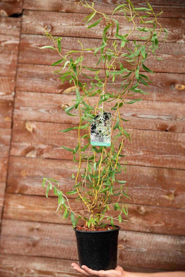 710-22557 Salix Erythroflexuosa