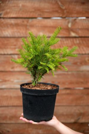 710-22561 Taxus baccata