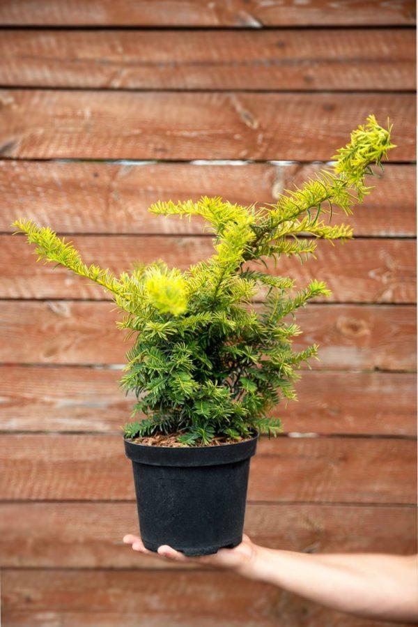 710-22562 Taxus baccata Summergold