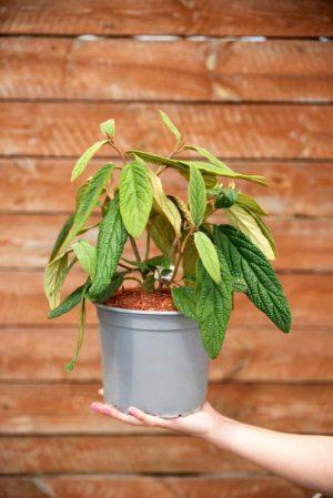 710-22569 Viburnum rhytidophyllum
