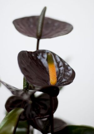 Anturium 'Black Love' (łac. Anthurium 'Black Love') + OSŁONKA (1)