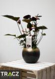 Anturium 'Black Love' (łac. Anthurium