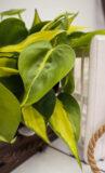 Filodendron-Pnący-'Brasil'-Philodendron-Scandens-'Brasil'