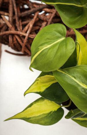 Filodendron-Pnący-'Brasil'-Philodendron-Scandens-'Brasil