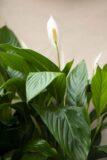 krzydłokwiat 'Bingo Cupido' (Spathiphyllum 'Bingo Cupido')
