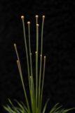 Syngonantus 'Mikado' (Łac. Syngonanthus 'Mikado')