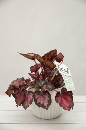 040-02958 BEGONIA BELEAF INCA NIGHT H22 P12