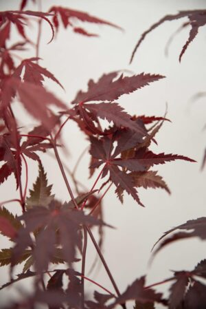 040-04042 Acer Palm Atropurpureum Red H60 P17