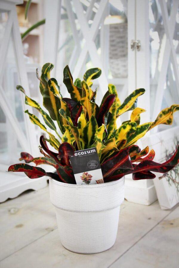 040-04053 Croton mammi H40 P12