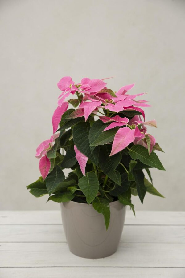 040-04068 POINSETTIA PRINCE. HOT PINK H28 P12