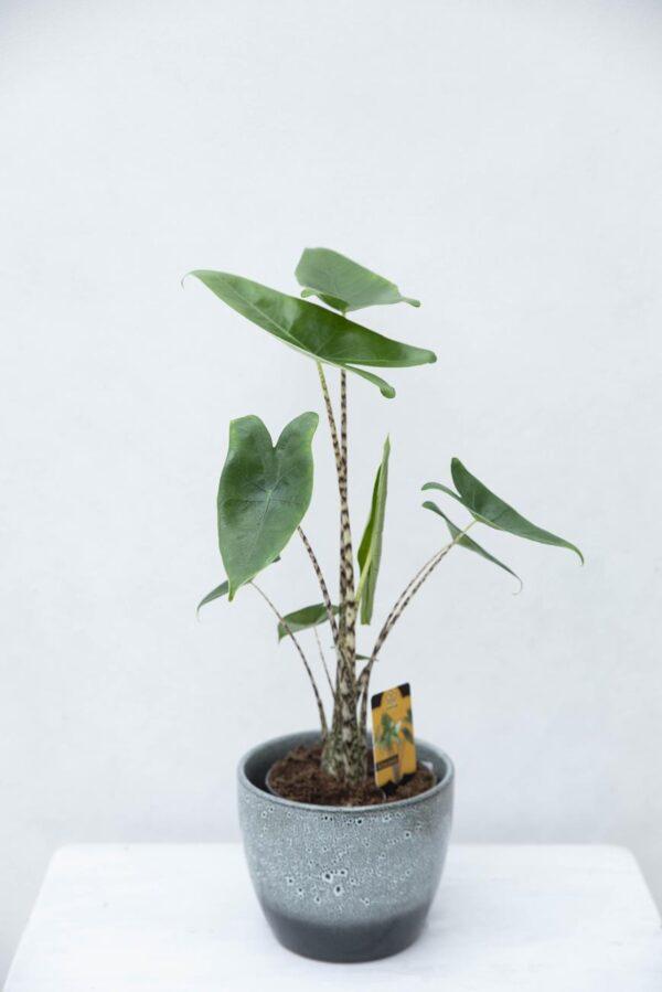 Alokazja pasiasta (łac. Alocasia zebrina) H55 P14