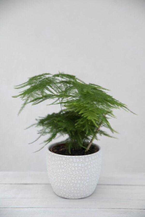 Szparag Pierzasty 'Plumosus' (łac. Asparagus Setaceus 'Plumosus') H35 P12