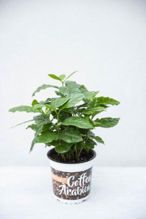 Kawa arabska (łac. Coffea arabica)