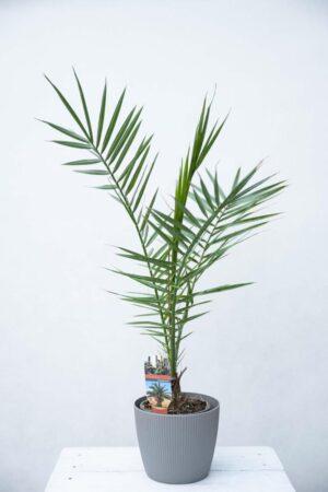 Daktylowiec Kanaryjski (łac. Phoenix Canariensis) Palma królewska