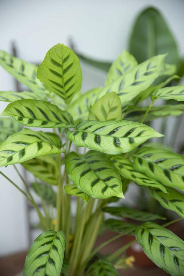 Kalatea 'Leopardina (łac. Calathea Leopardina) H65 P17 (3)