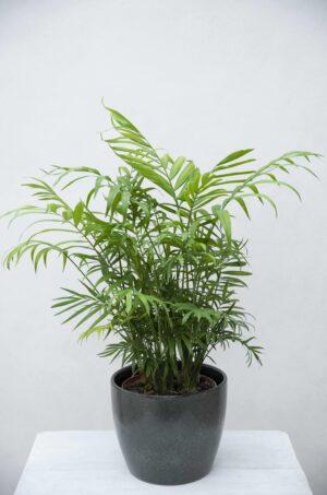 Palma koralowa (łac. Chamaedorea elegans) Chamedora CHAMAEDOREA ELEGANS