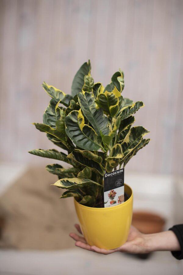 Kroton 'Eburneum' (łac. Codiaeum variegatum 'Eburneum') Trójskrzyn pstry Croton