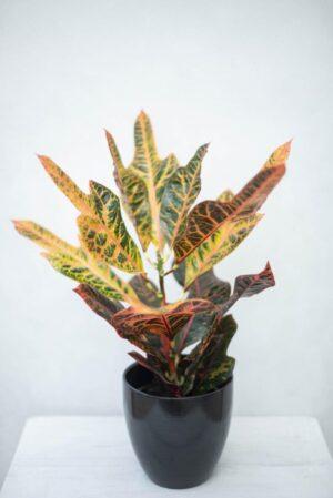 Kroton 'Excellent' (łac. Codiaeum variegatum 'Excellent') Trójskrzyn pstry Croton H47 P13 (3)