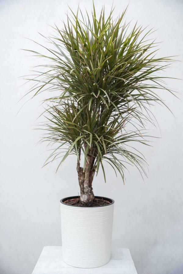 Dracena Obrzeżona 'Bicolor' (łac. Dracaena marginata 'Bicolor')