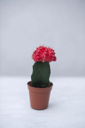 Kaktus 'Japan Red' (łac Gymnocalycium Michanovichii 'Japan Red')