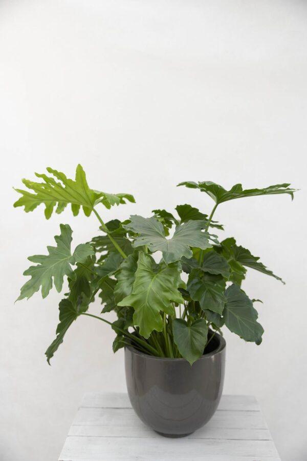 Philodendron Podwójniepierzasty (Łac. Thaumatophyllum Bipinnatifidum) Cudnolist (1)