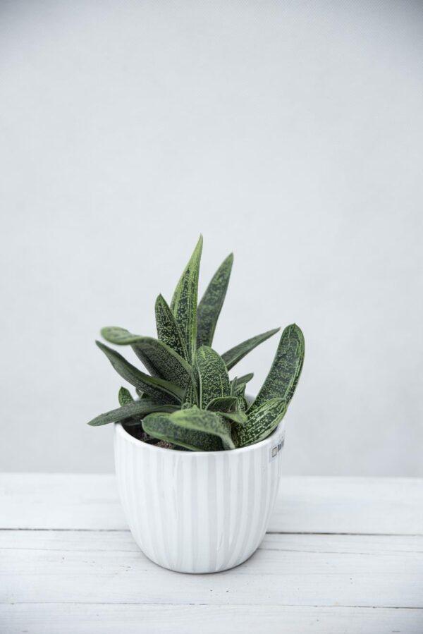 Aloes Flow Gasteria (Aloe Gasteria Flow) H10 P508