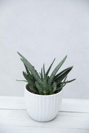 Gasteria brodawkowata (łac. Gasteria verrucosa) Aloesik brodawkowaty H10 P508