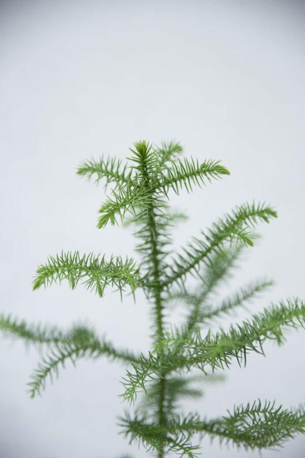 Araukaria Wyniosła (łac. Araucaria Heterophylla) H25 P10 (2)