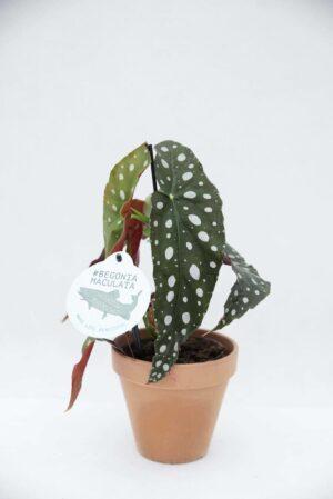 Begonia koralowa (łac. Begonia maculata) Begonia plamista H30 P12 (1)