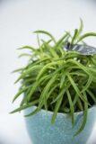 Peperomia 'Nevada' (łac. Peperomia ferreyrae 'Nevada') Zielona rozgwiazda H25 P11 (2)
