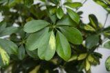 Szeflera drzewkowata 'Gold Capella' (łac. Schefflera arboricola 'Gold Capella')