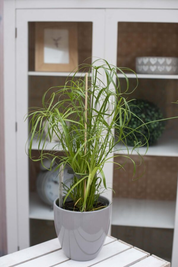 Cibora Zmienna (łac. Cyperus Alternifolius) Papirus H50 P14