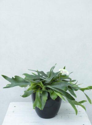 Płaskla łosioroga (łac. Platycerium Bifurcatum) Paproć Łosie Rogi H40 P17 (1)