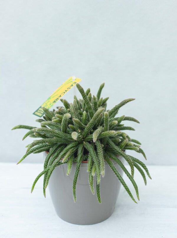 Patyczak 'Horrida' (łac. Rhipsalis baccifera 'Horrida') Mysie ogony H22 P12